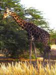 Wild Times - Giraffe