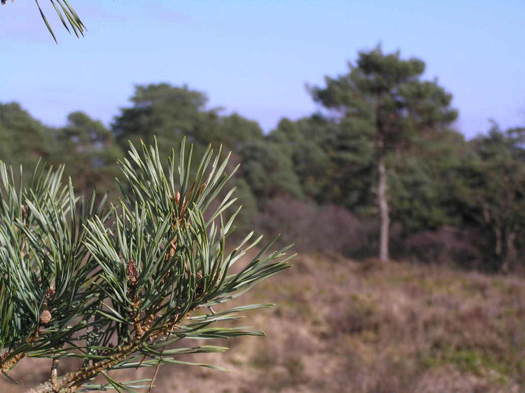 Pine Tree - Depth of Field by 3D-Studio-Mike