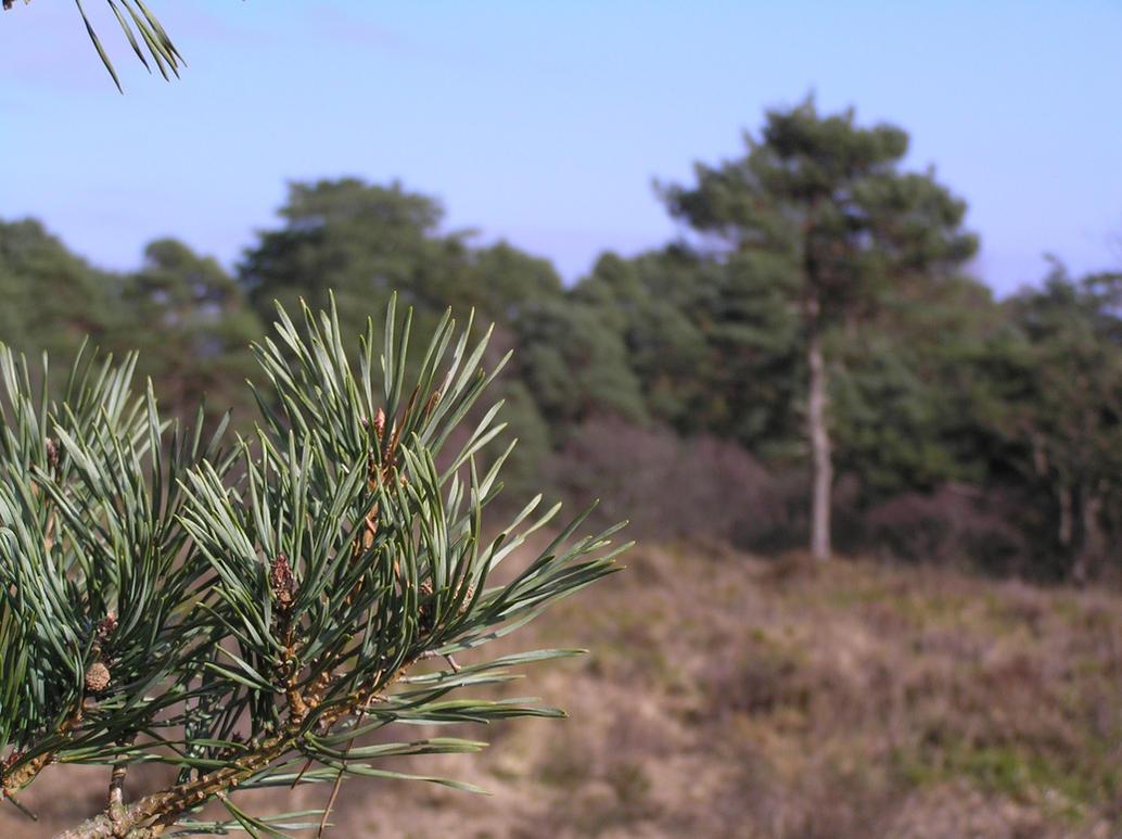 Pine Tree - Depth of Field by 3D-Studio-Mike