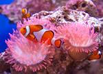 Clownfish by RoyallyCrimson