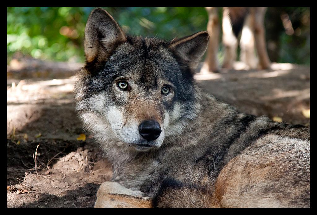 Sad Wolf by RoyallyCrimson