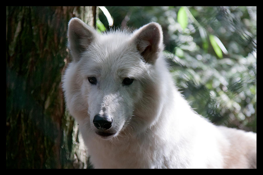 Arctic Wolf by RoyallyCrimson