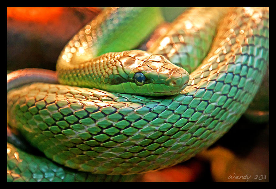 Red-Tailed Green Ratsnake by RoyallyCrimson