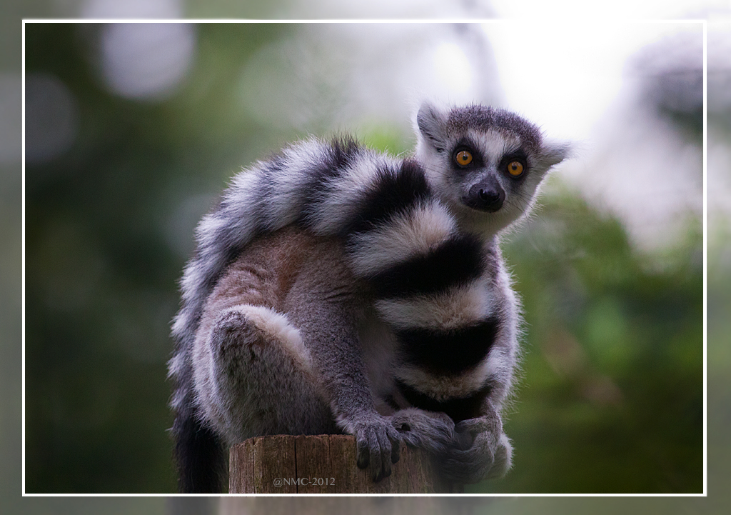 Ring-Tailed Lemur by RoyallyCrimson