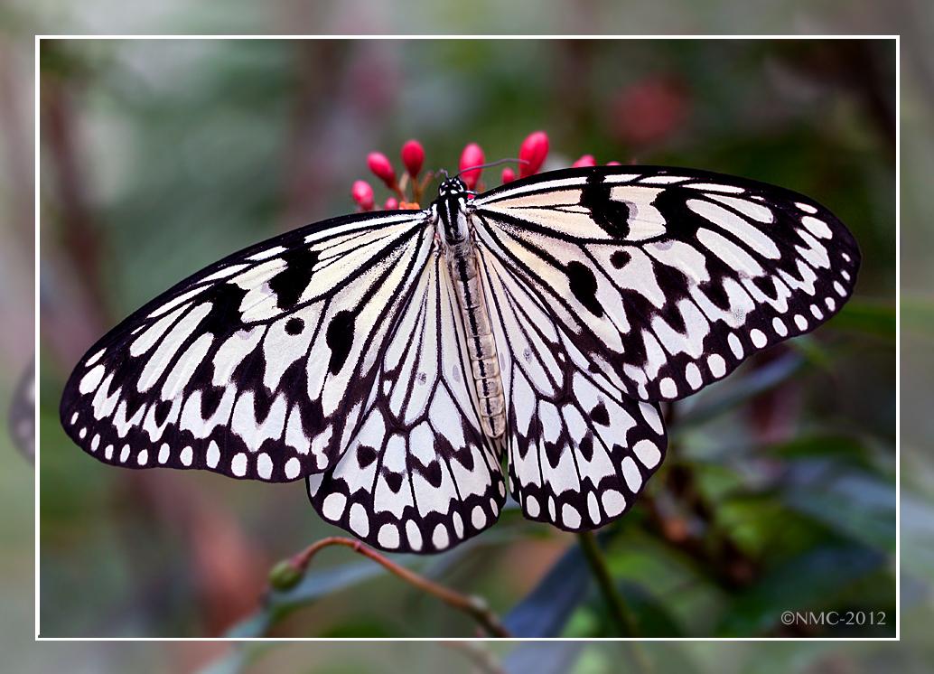 rice paper butterfly Buy 'rice paper butterfly' by jo nijenhuis as a poster, throw pillow, tote bag, art print, canvas print, framed print, photographic print, metal print, greeting card.