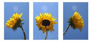 Sunflower by junnamunsta