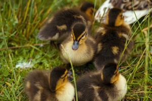 Confident Duckling
