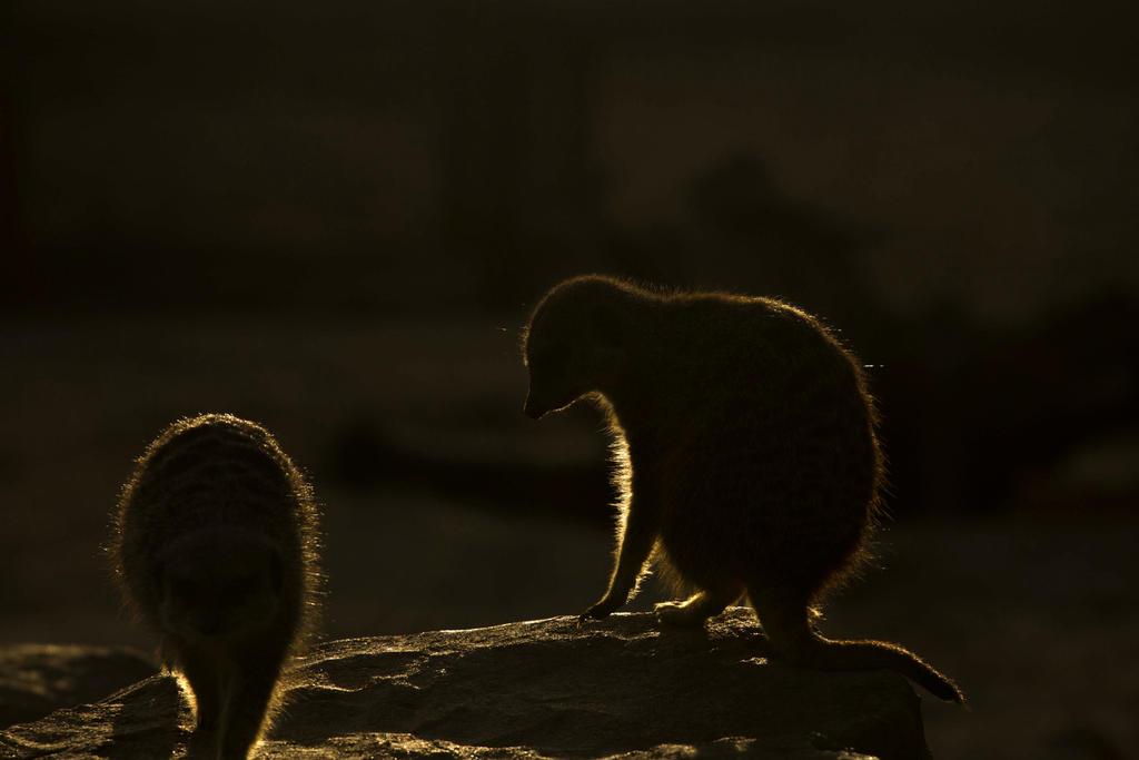 Meerkat at Sundown by JSWoodhams