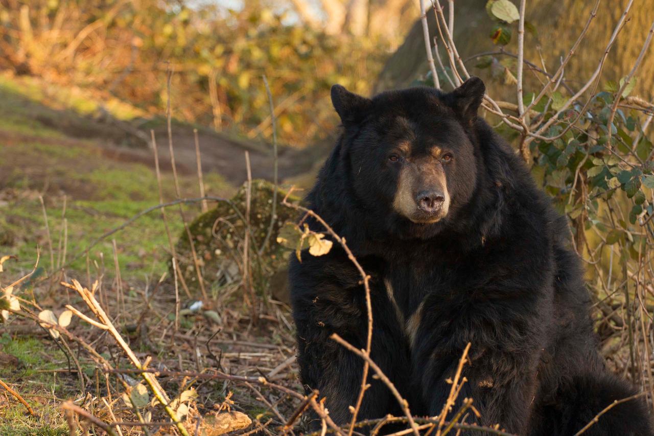 Pondering Bear by JSWoodhams