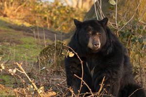 Pondering Bear