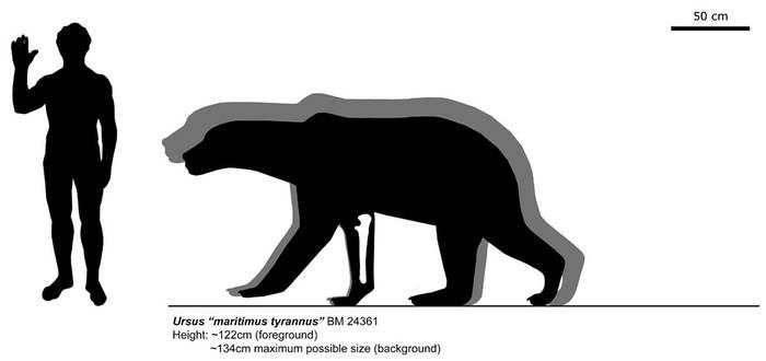 The size of Ursus ''maritimus tyrannus''