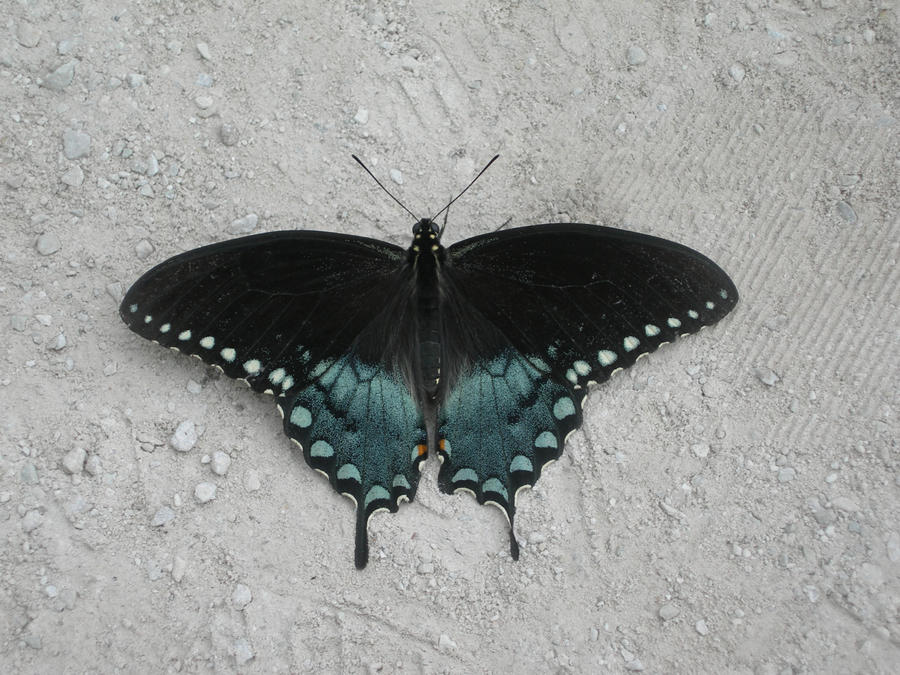 Black Butterfly Blue Blush by mmad-sscientist on DeviantArt