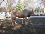 Draft Horse No Harness