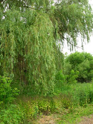 Willow in the Woods