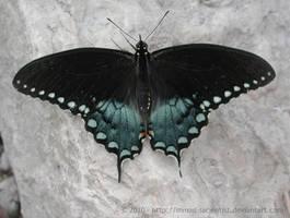 Spicebush Swallowtail by mmad-sscientist