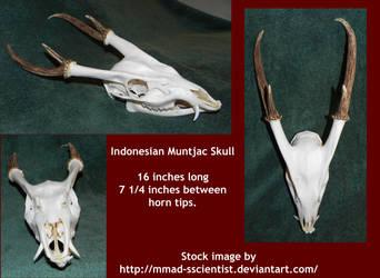 Muntjac Skull 3 Views
