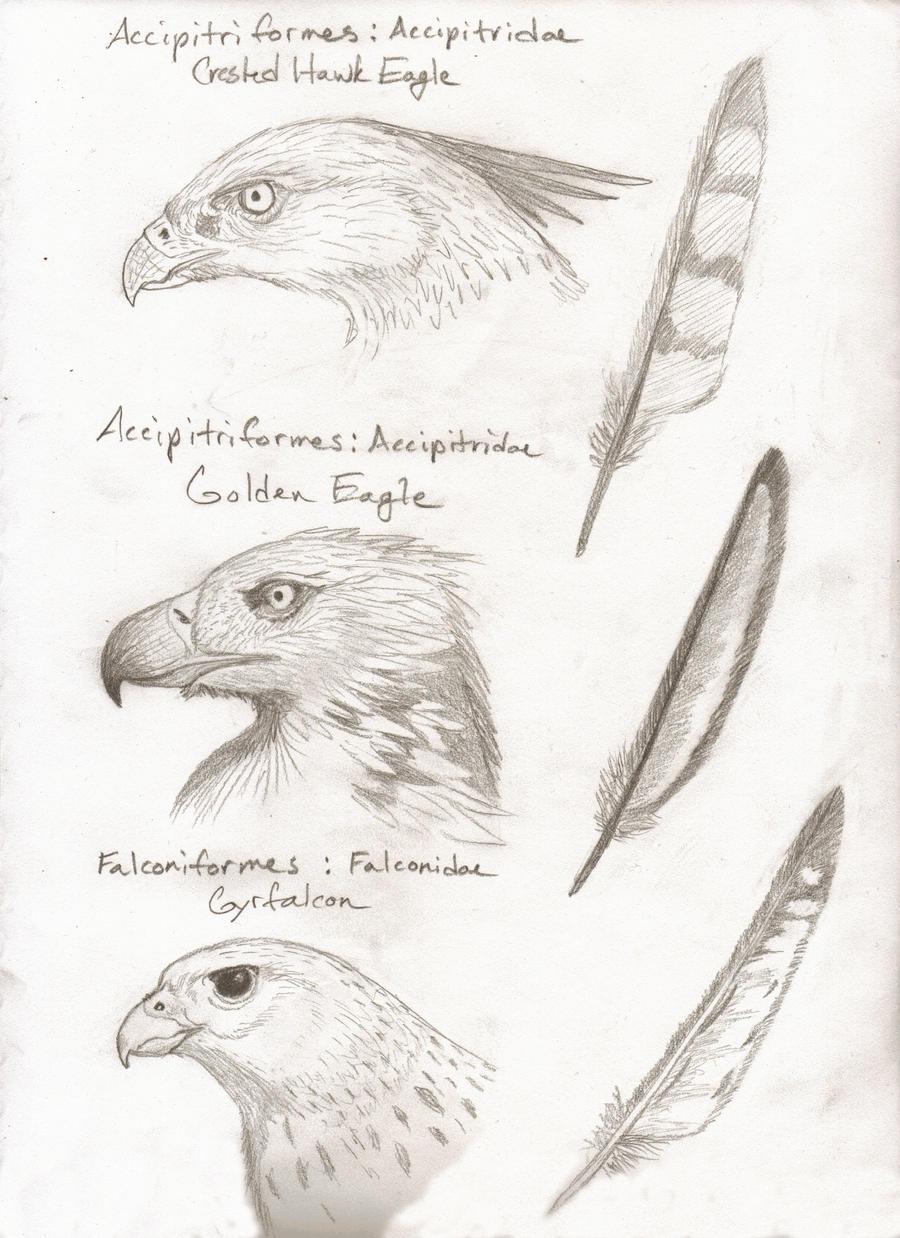 Falcon vs eagle vs hawk