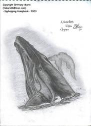 Spyhopping Humpback