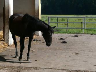 Black horse stock 2 by Eri-assa-irE