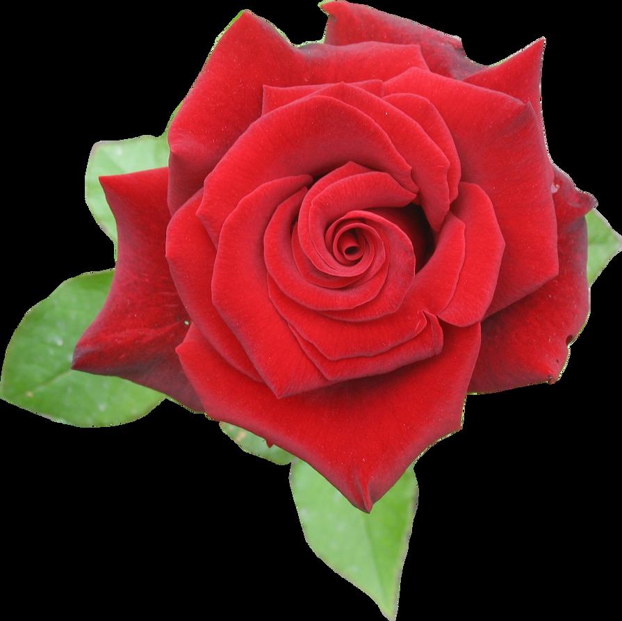 ורד אדום