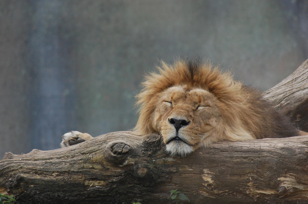 The Lion Sleeps Tonight by LouiseSvenningsen