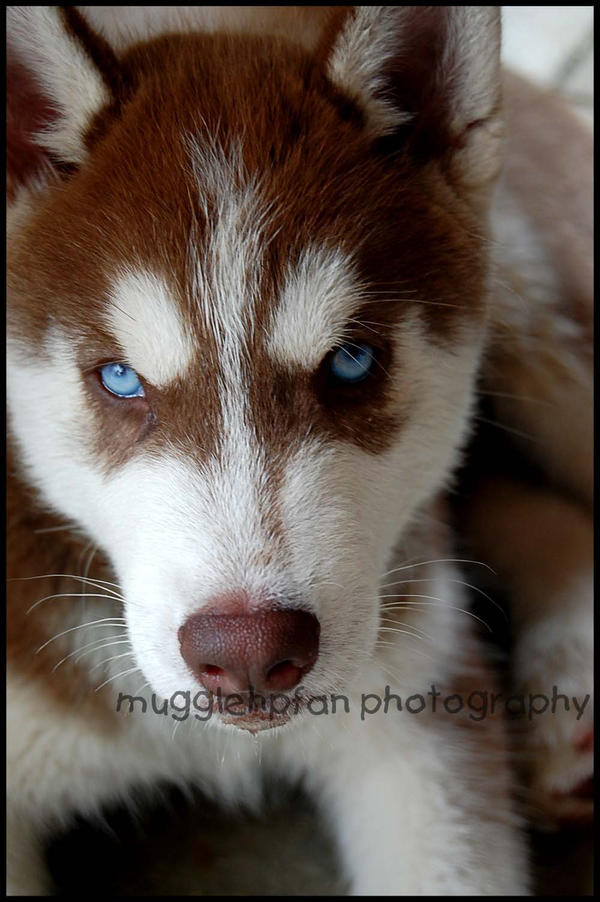 angry husky puppy - photo #7