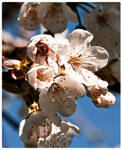 bumble bee loves cherry tree