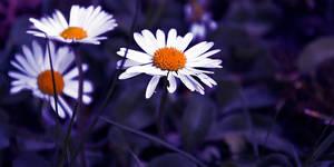 daisies fragile