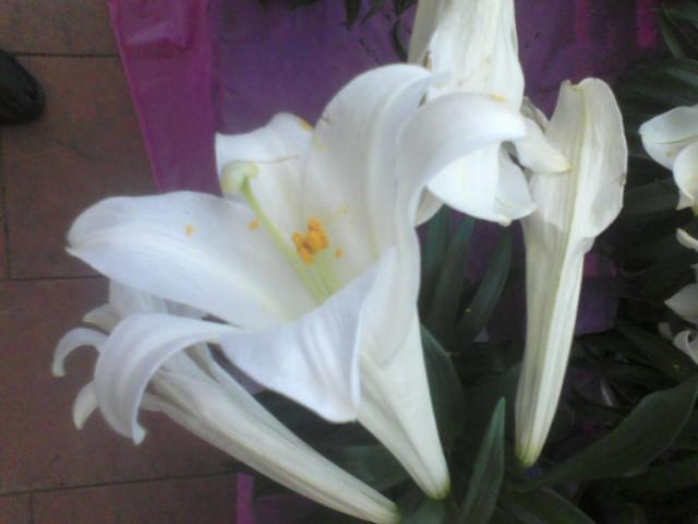Lilies by A7XFan666