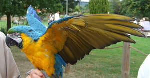 .Macaw wings 5. 1134