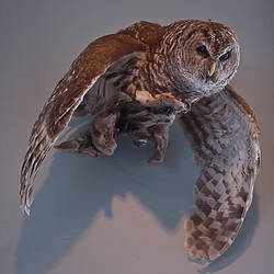 Owl with spread wings stock