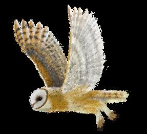 Barn Owl - Fly away by momodory09