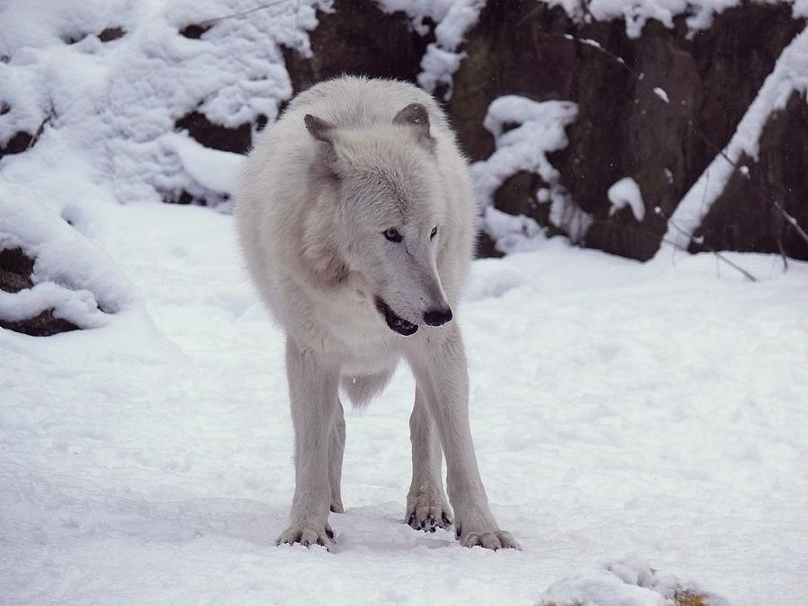 Timberwolf Orry by Khalliys