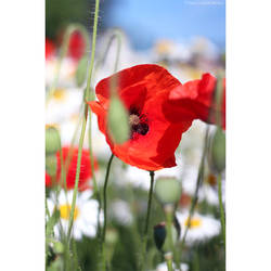 Poppies and chamomiles