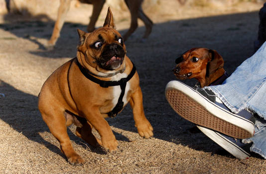 Back off Frenchie