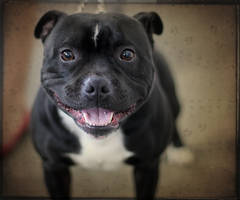 Smiling Staffie by Feeferlump
