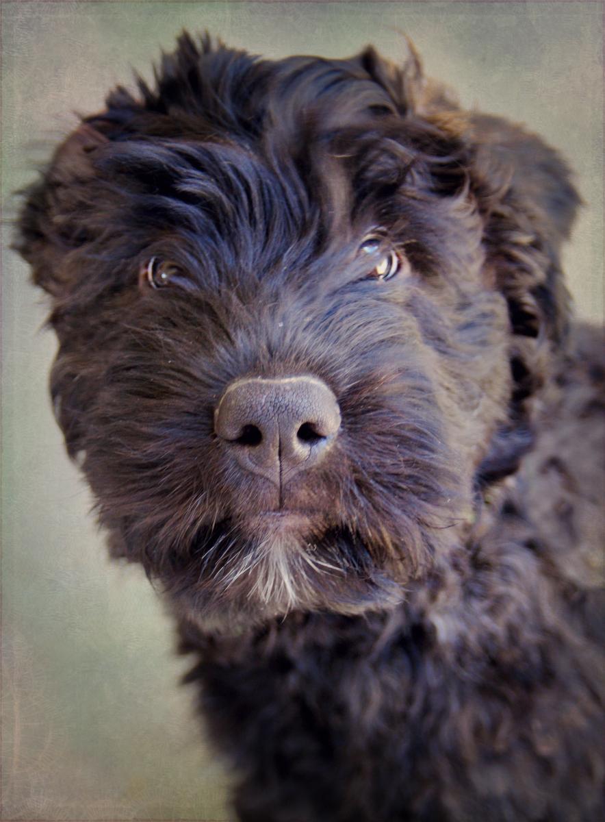 Bouvier des Flandres Puppy by Feeferlump on DeviantArt