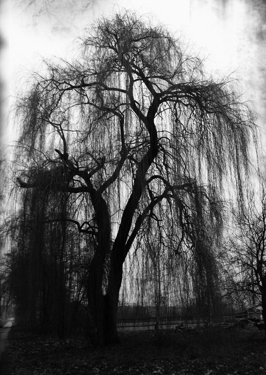 the weeping willow tree in north Willow, golden willow, laurel willow the north dakota tree handbook has been designed to assist specialists and lay people with forestry responsibilities.