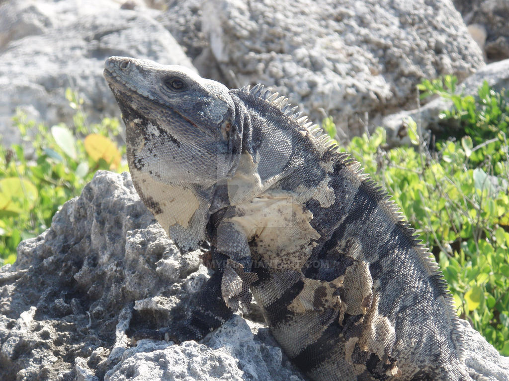 TME Akumal, Mexico: Iguana King by Namyr