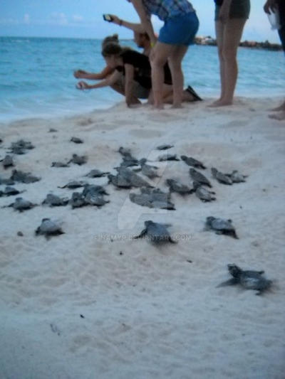 TME Akumal, Mexico: Baby Sea Turtle Hatching!!! by Namyr