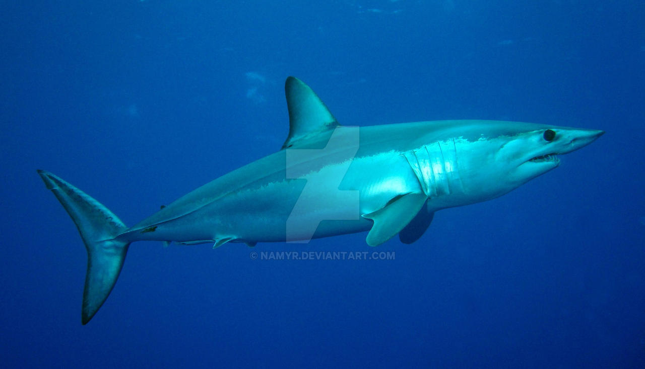 Shark Species ID: Shortfin Mako Shark by Namyr