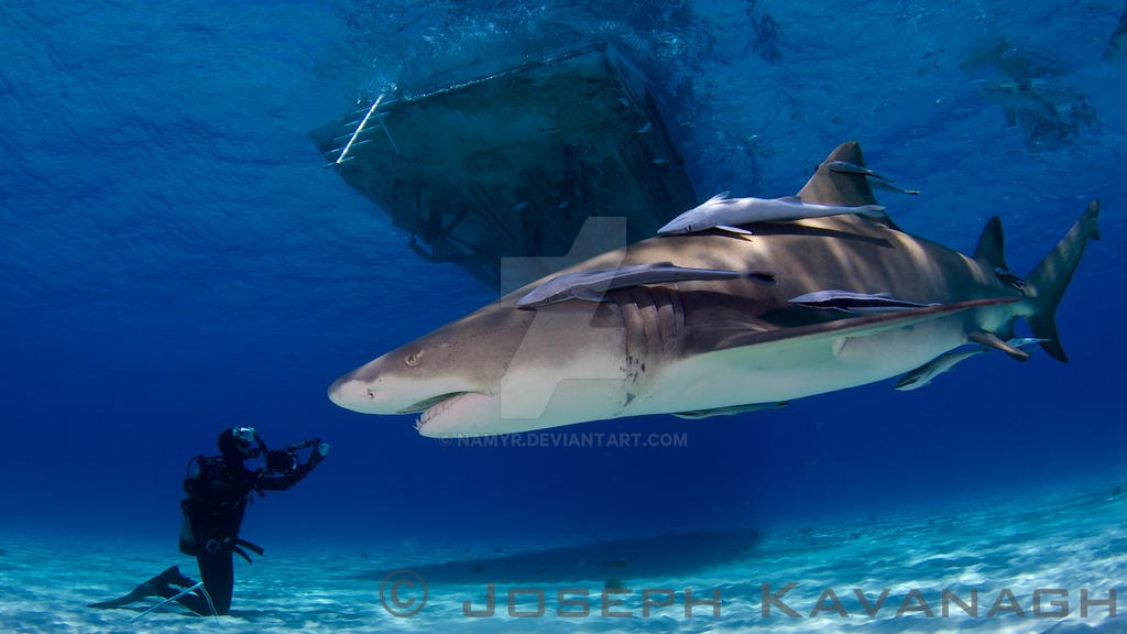 Shark Species ID: Lemon Shark by Namyr