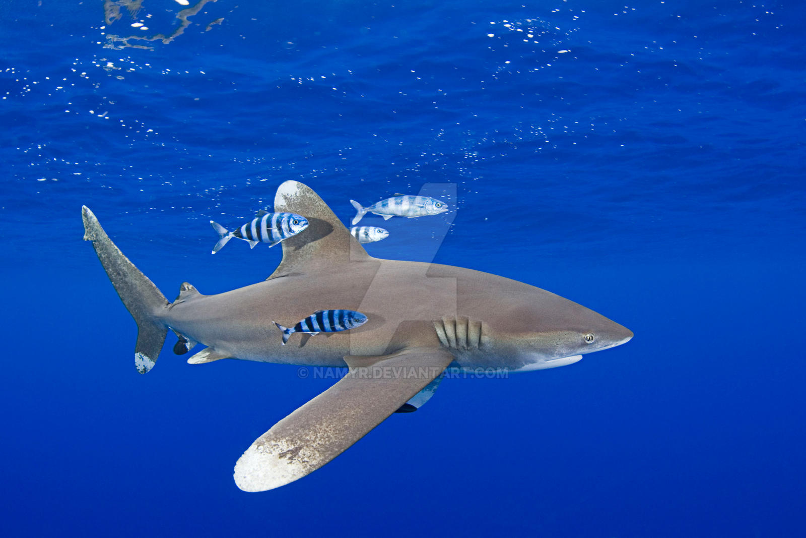 Shark Species ID: Oceanic WhiteTip Shark by Namyr