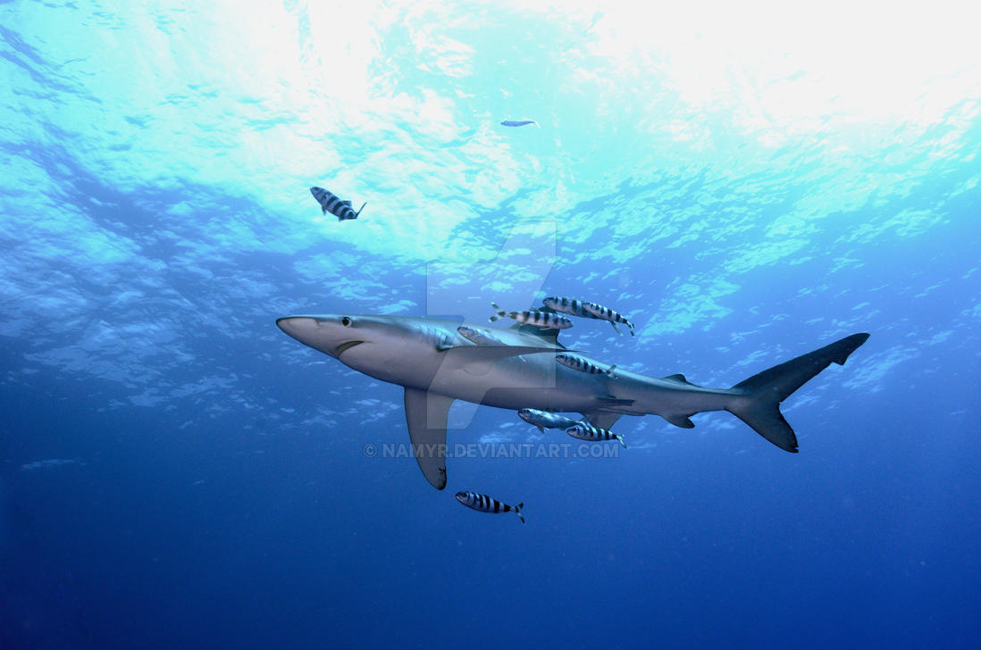 Shark Species ID: Blue Shark by Namyr