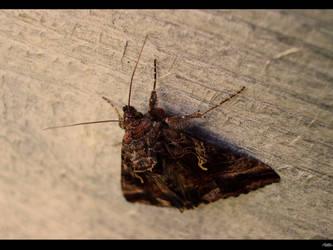 Moth by Rainy-zone