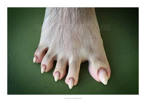 Canine Foot