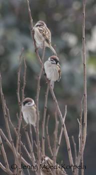 Eurasian tree sparrow 2 - STOCK