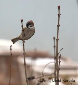 Eurasian tree sparrow 3 - STOCK
