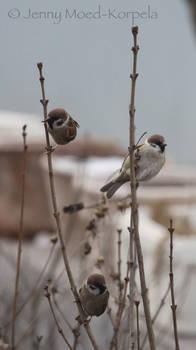 Eurasian tree sparrow 4 - STOCK