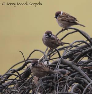 Eurasian tree sparrow 5 - STOCK